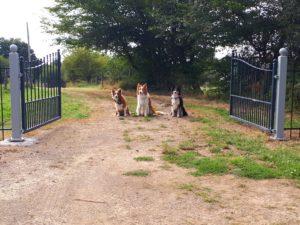 Onze honden bij de poort